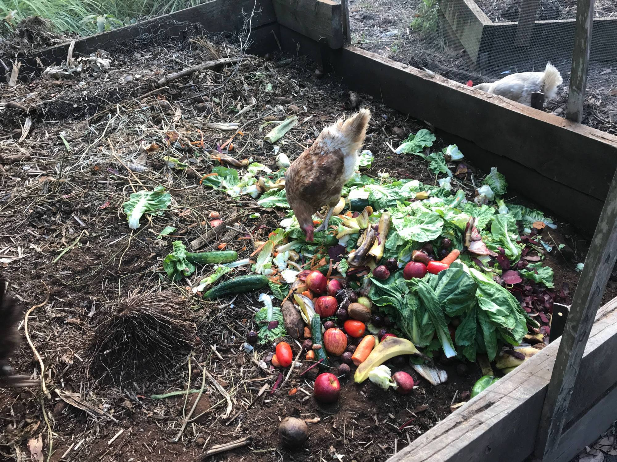 A hen pecks at cooling summer greens, turning it into compost.