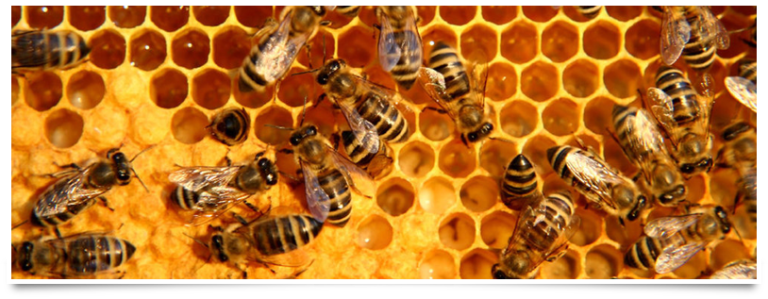 Bees making honey on a honeycomb.